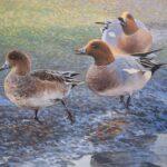 Three brown, black & white ducks walking across muddy ground