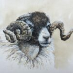 Face of a sheep with very curled horns