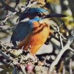 close-up of a kingfisher in a tree