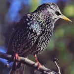close up of starling in a tree
