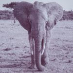 face-on black & white photo of elephant