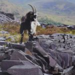 goat on slate against mountain backdrop